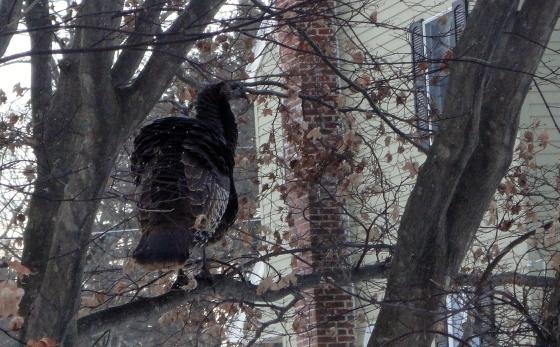 birds -20 turkey in a tree