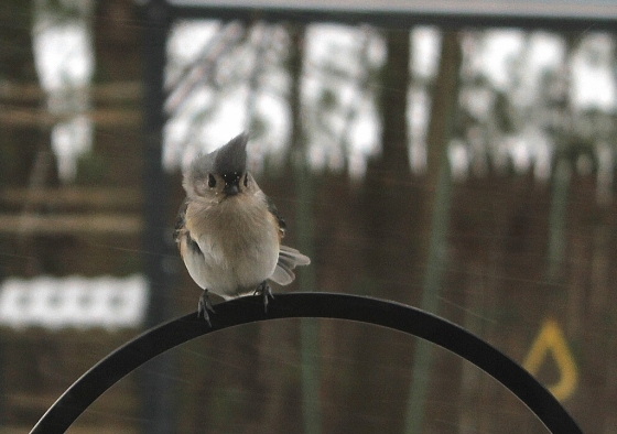 Birds 29-Tufted Titmouse 2